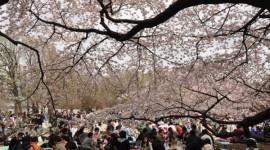 TOP 10 ĐỊA ĐIỂM NGẮM HOA ANH ĐÀO TUYỆT ĐẸP TẠI TOKYO